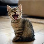 Kitten Vet Mokena